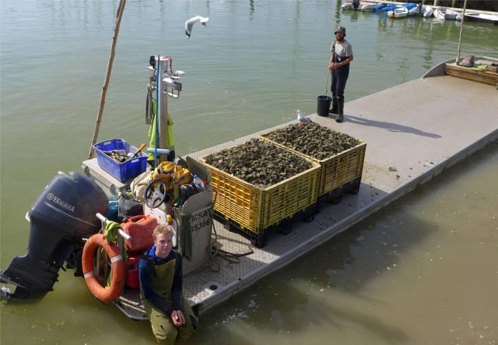 NZ Opua die Moewen interessieren sich fuer die Austern