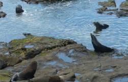 NZ Ostkueste noch mehr Seebaeren