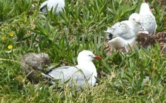 NZ Otago Peninsula Möwenfamilie