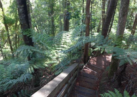 NZ Opua Baumfarne immer wieder schoen