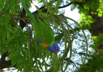 Sydney ein freundlicher Papagei