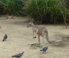 Sydney Zoo Kaenguru