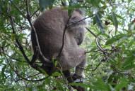 Sydney Zoo Koala