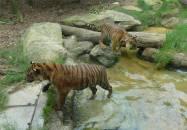 Sydney Zoo Tiger Kleinkinder