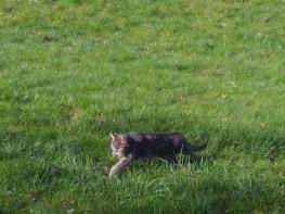 Bremen Tiger auf der Jagd