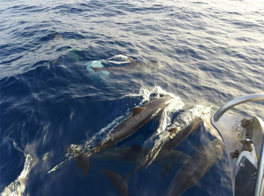 15 Delfinebegleitung hinaus auf den Atlantik