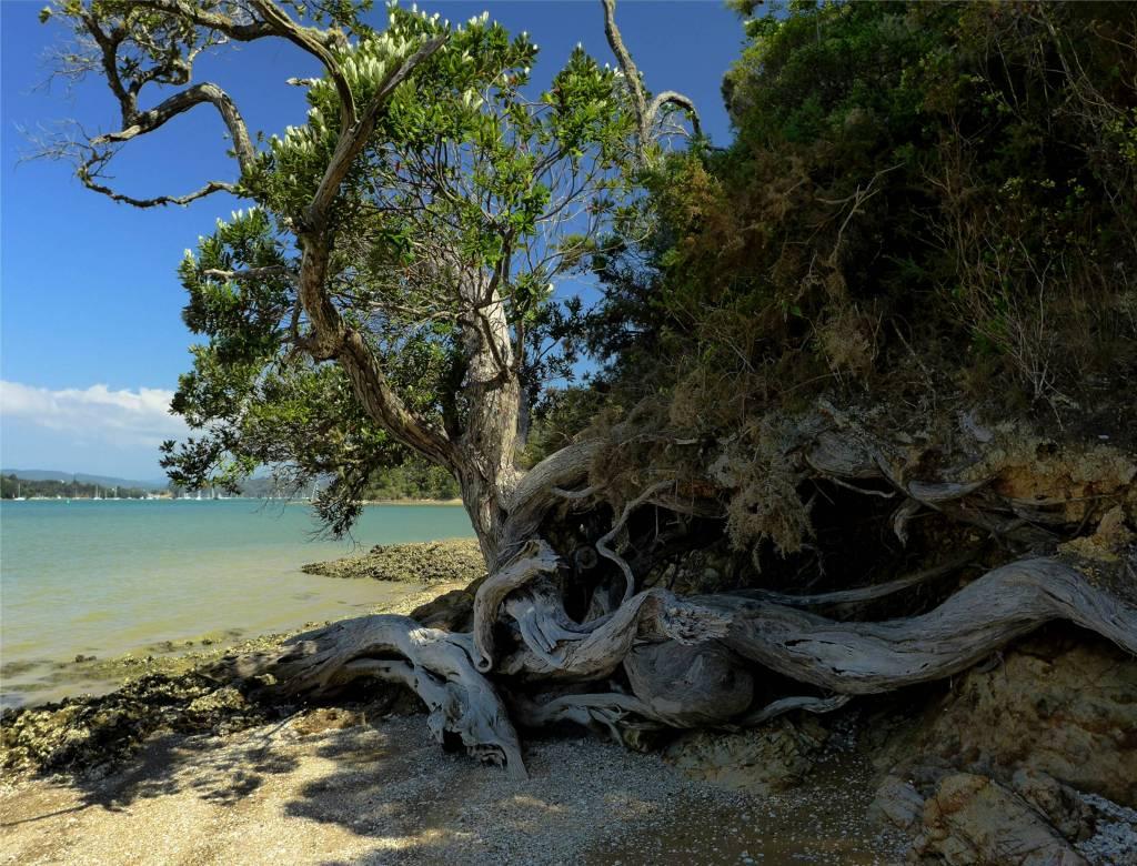 34 Baum an der Küste Opua Coastal Walk