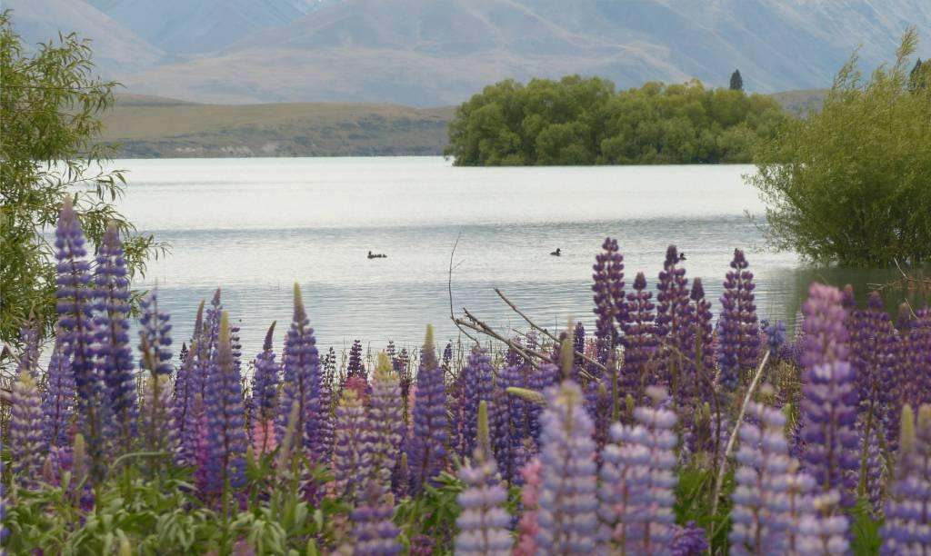 36 Lupinen am Lake Tekapo